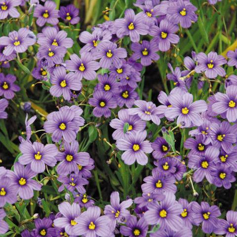 Ярко-синие или голубые цветки