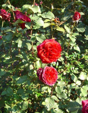 R. Velvet Fragrance