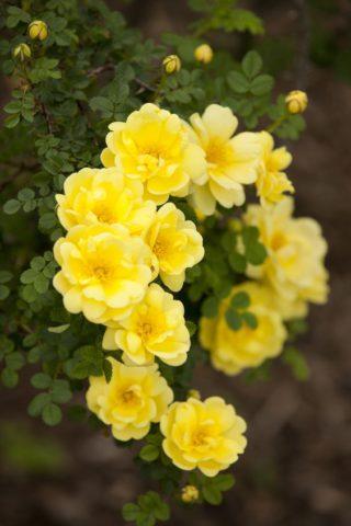 Ярко-желтые полумахровые цветки