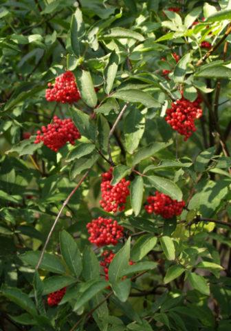 Разновидность украшена кистями ярко-алых ягод