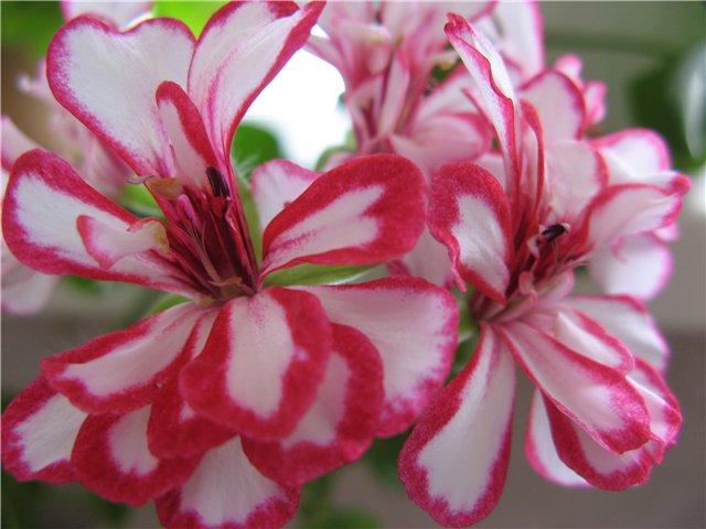 Махровые темно-карминовые цветки в зонтиках