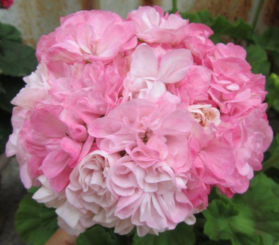 Махровые карминовые цветки