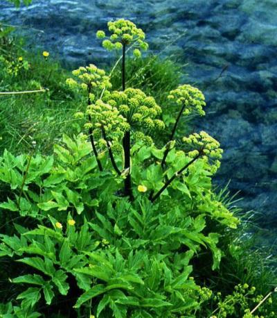 Растение с блестящими темно-зелеными листьями