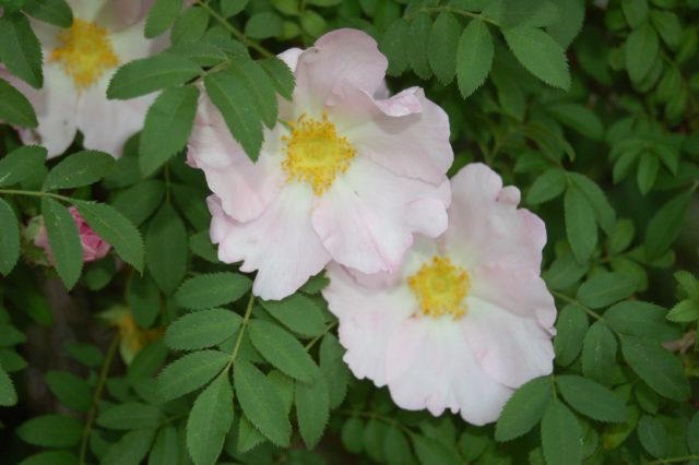 Пурпурные простые или махровые цветки