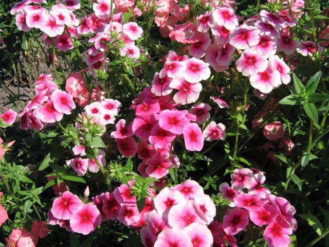 Широкие кисти с розовыми, лиловыми, голубыми, белыми или трехцветными венчиками