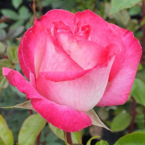 R. Rose Gaujard