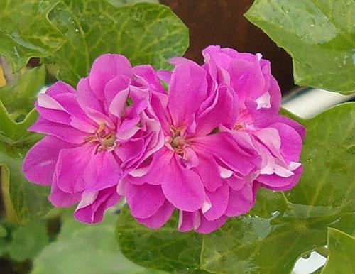 Зонтики темно-розовых цветков