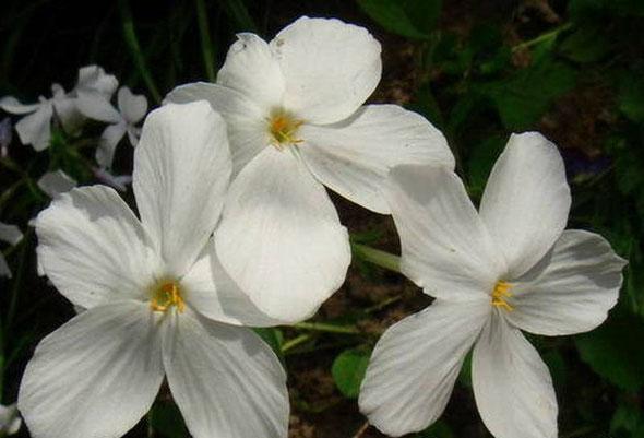 Цветки чисто-белые, с округлым отгибом