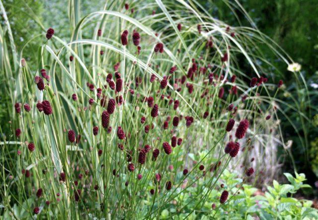 Мелкие темно-красные цветки