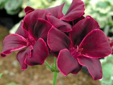 Темно-пурпурные с розовым краем цветки