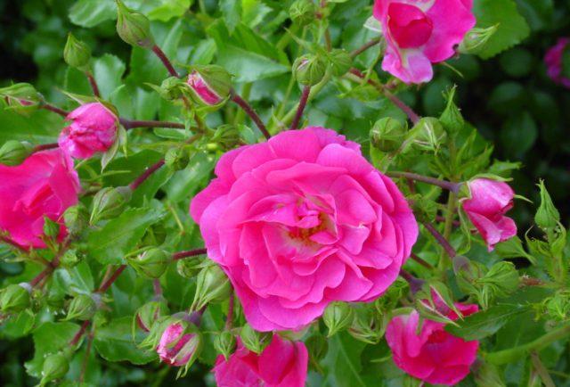 Цветки шаровидные, малиново-пурпурные