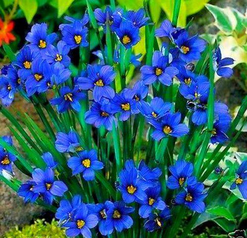 Крупные бледно-голубые чашевидные цветки