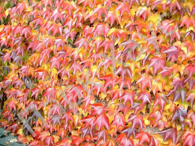Листья глянцевые