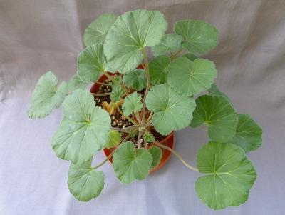 Раскидистое растение