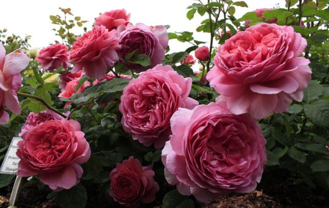 Цветки красивые, густо-пунцовые