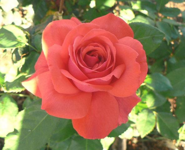 Щитки душистых темно-алых цветков
