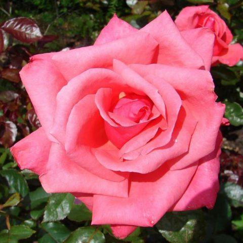R. Abbeyfield Rose
