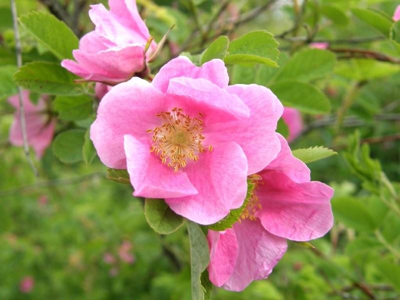 то, роза майская картинки положение вещей мало
