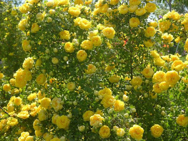 Цветки диаметром 7,5 см, простые