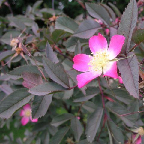 Группы простых розовых цветков