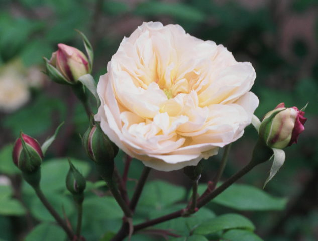 Цветки перламутрово-розовые с более густым розовым румянцем