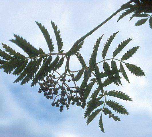 """Aspleniifolia"""