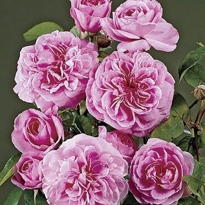 Цветки шаровидные, в основном одиночные