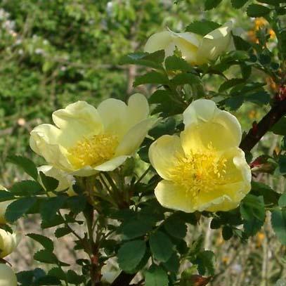 Цветки золотисто-желтые