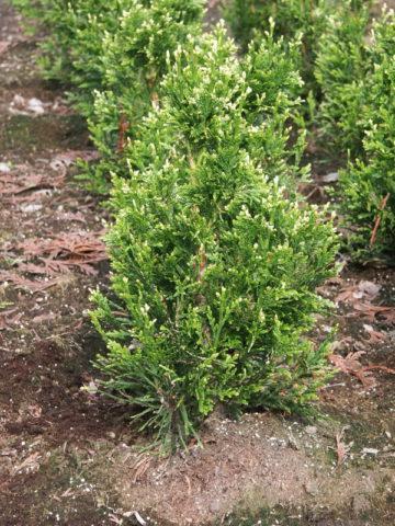 Бронзово-зеленая хвоя обладает приятным запахом