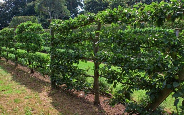 Живая изгородь со свежими фруктами