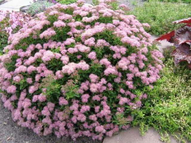 Неприхотливые цветущие кустарники
