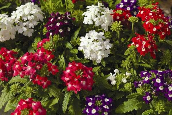 Однолетние цветущие растения