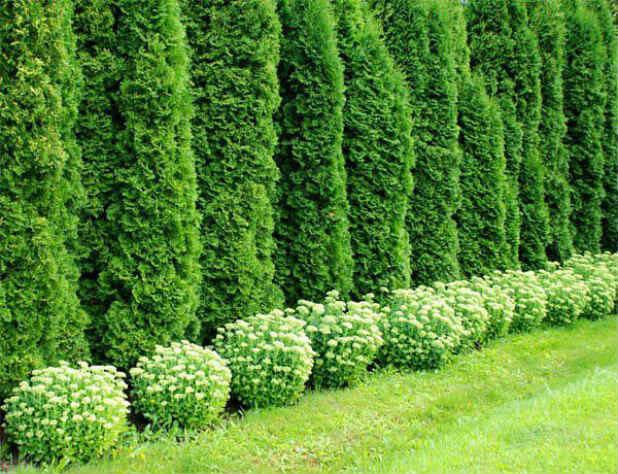 Живые изгороди из неприхотливых растений