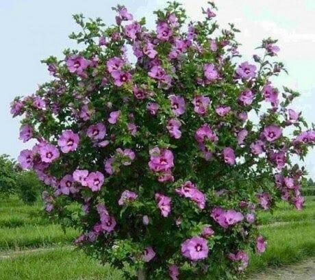 Гибискус сирийский (сирийская роза)