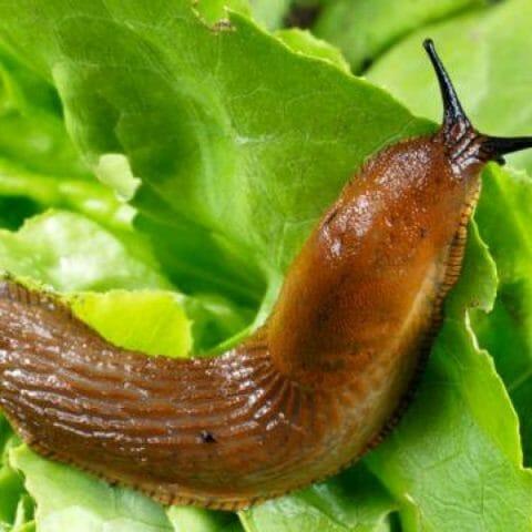 Как показывает многолетний опыт, одни растения повреждаются улитками и слизнями сильнее других