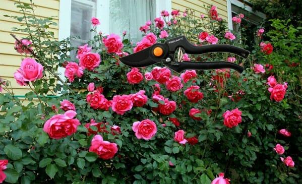 Обрезка роз весной: правила, советы, рекомендации
