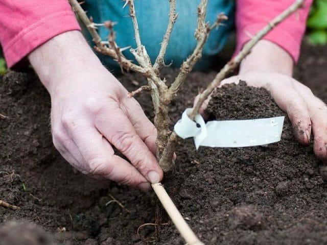 Выращивание и посадка крыжовника, секреты правильного ухода за растением