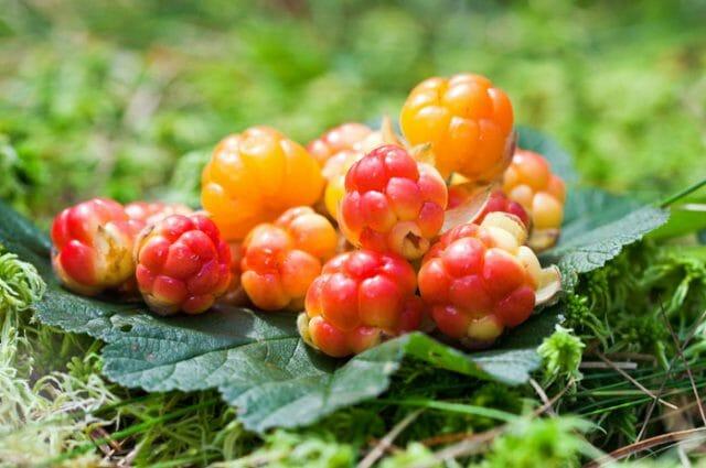 Морошка – полезные свойства царской ягоды