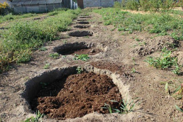 Посадка садовой черники и особенности ухода на приусадебном участке