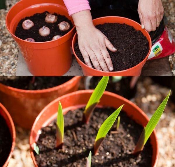 Когда сажать гладиолусы весной в открытый грунт, как правильно это делать
