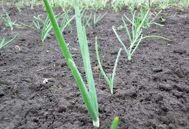 Посадка лука весной на головку: когда, и как правильно сажать?