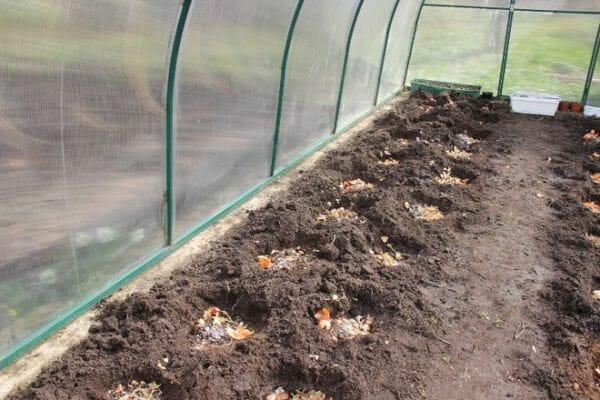 Правильная пересадка рассады помидоров в теплицу