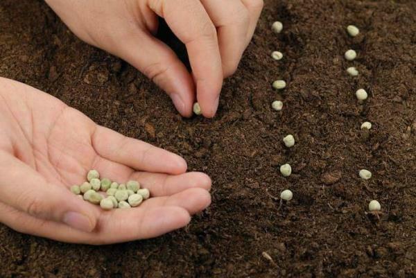 Как правильно сажать горох в открытый грунт семенами