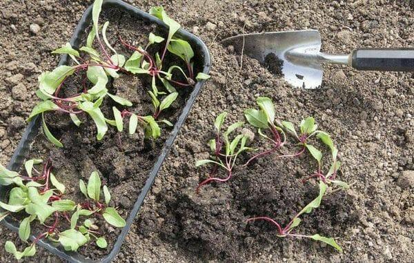Правильная посадка свеклы семенами в открытый грунт