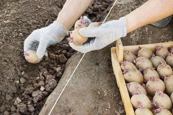 Как правильно сажать картофель чтобы получить хороший урожай