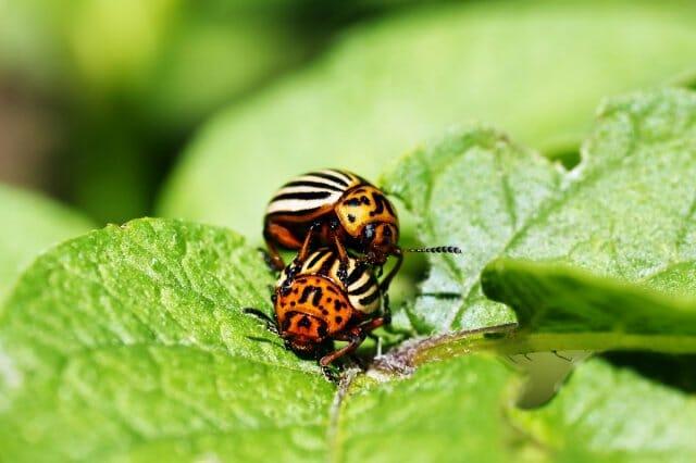 ТОП-10 Средств от колорадского жука