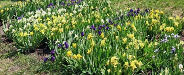 Иридарий – как создать красивый ирисовый сад на своем участке