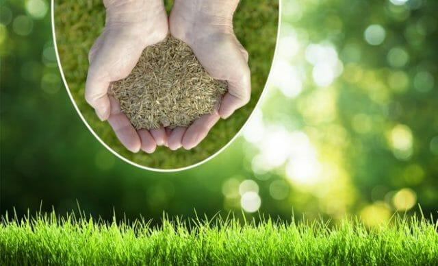 Какую траву выбрать для посадки газона: обзор первоклассных сортов, фото