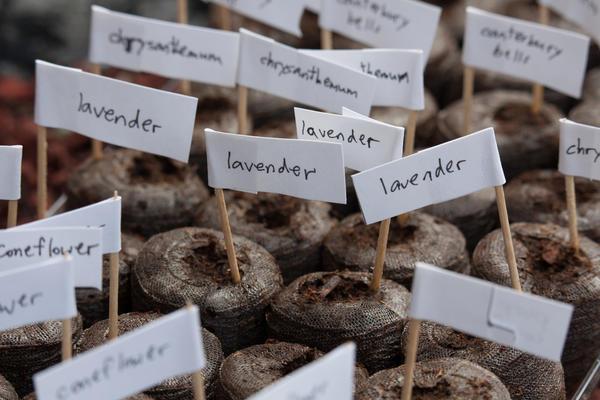 Можно ли вырастить лаванду дома, и как это сделать