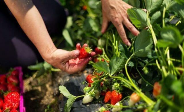 Подкармливаем клубнику летом во время плодоношения